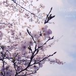 【日南】花立公園・飫肥城・母智丘公園の桜が満開!【都城】