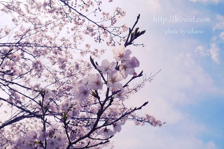 都城市母智丘公園の桜